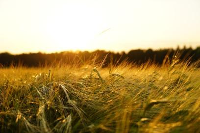 barley-1117282_1280